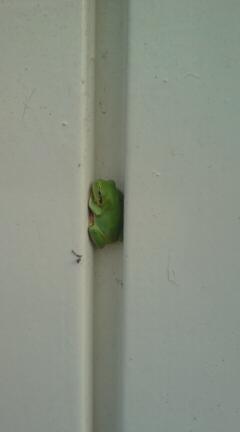 意外と可愛い雨蛙です。