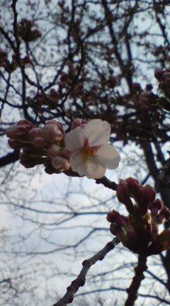 桜開花!一輪めっけの朝チャリ