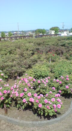 五泉の牡丹園