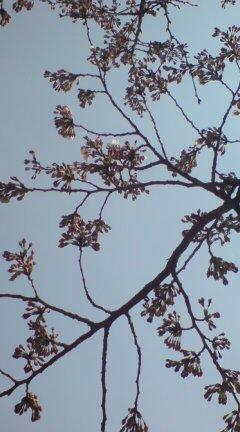 粟島公園のテニスコート脇の桜