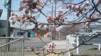 桜橋の桜はこんなかんじ