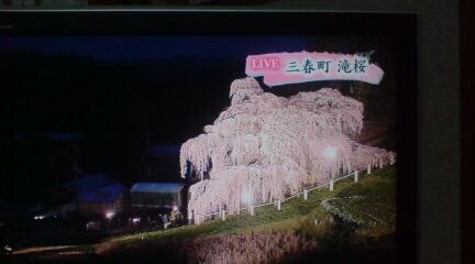 三春滝桜は満開