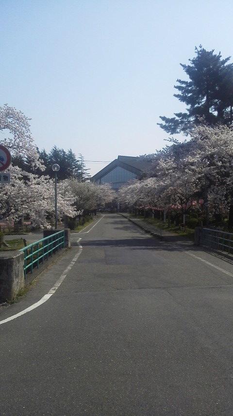 粟島公園の桜